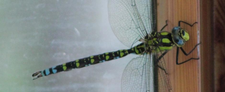 IMG_6274wlargedragonfly